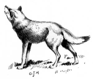 Canis lupus looking up (illustration)