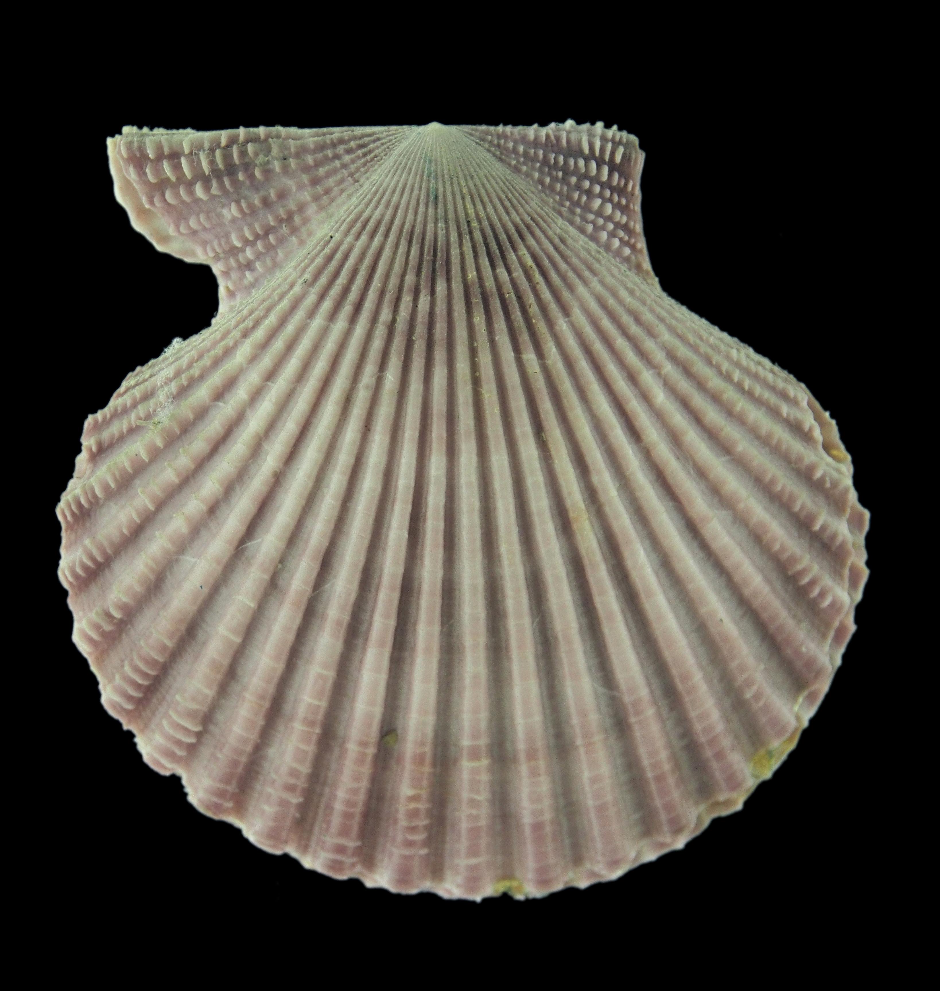 filechlamys nobilis shell on blackjpg wikimedia commons