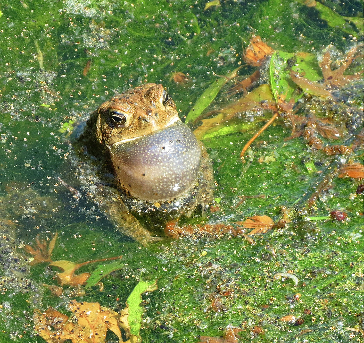 Helping california's legendary frog go the distance