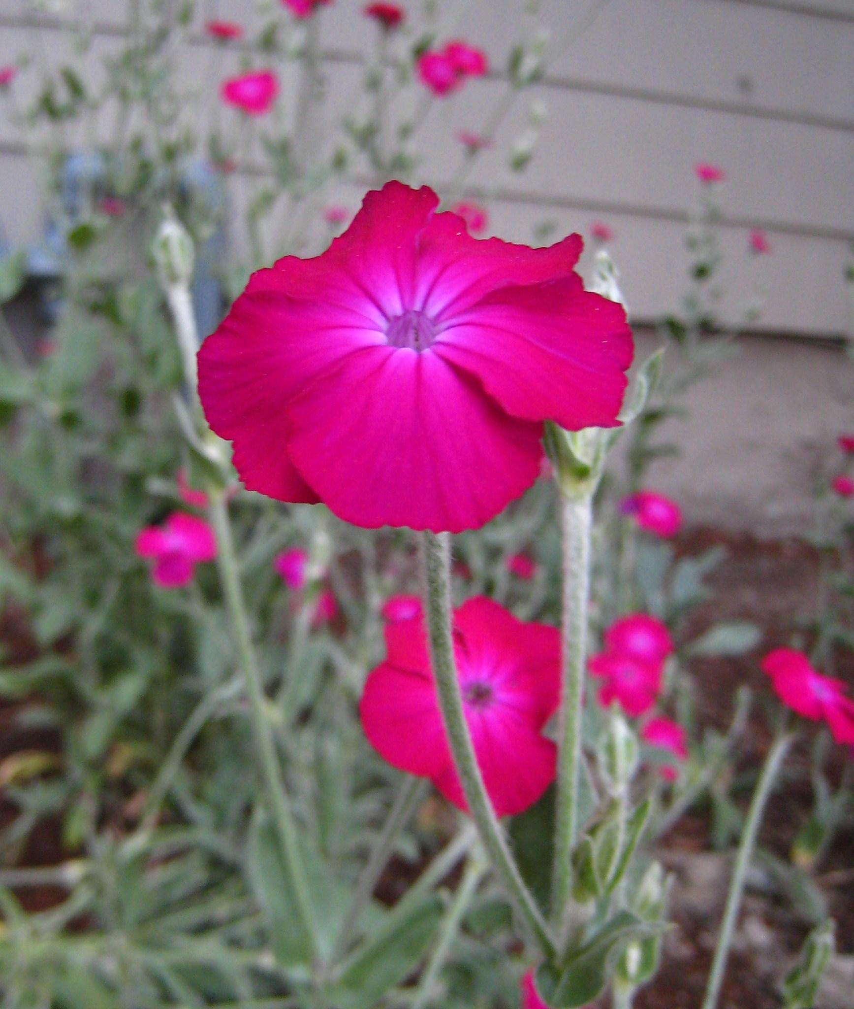 File Dayglo Pink Garden Flower Jpg