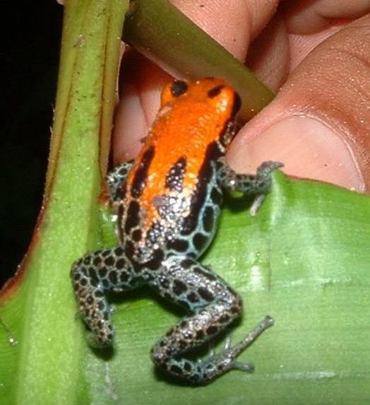 Interesting Places Wikipedia: Red-backed Poison Frog