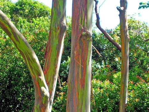√~ اليوكاليبتوس شجرة (صوور)