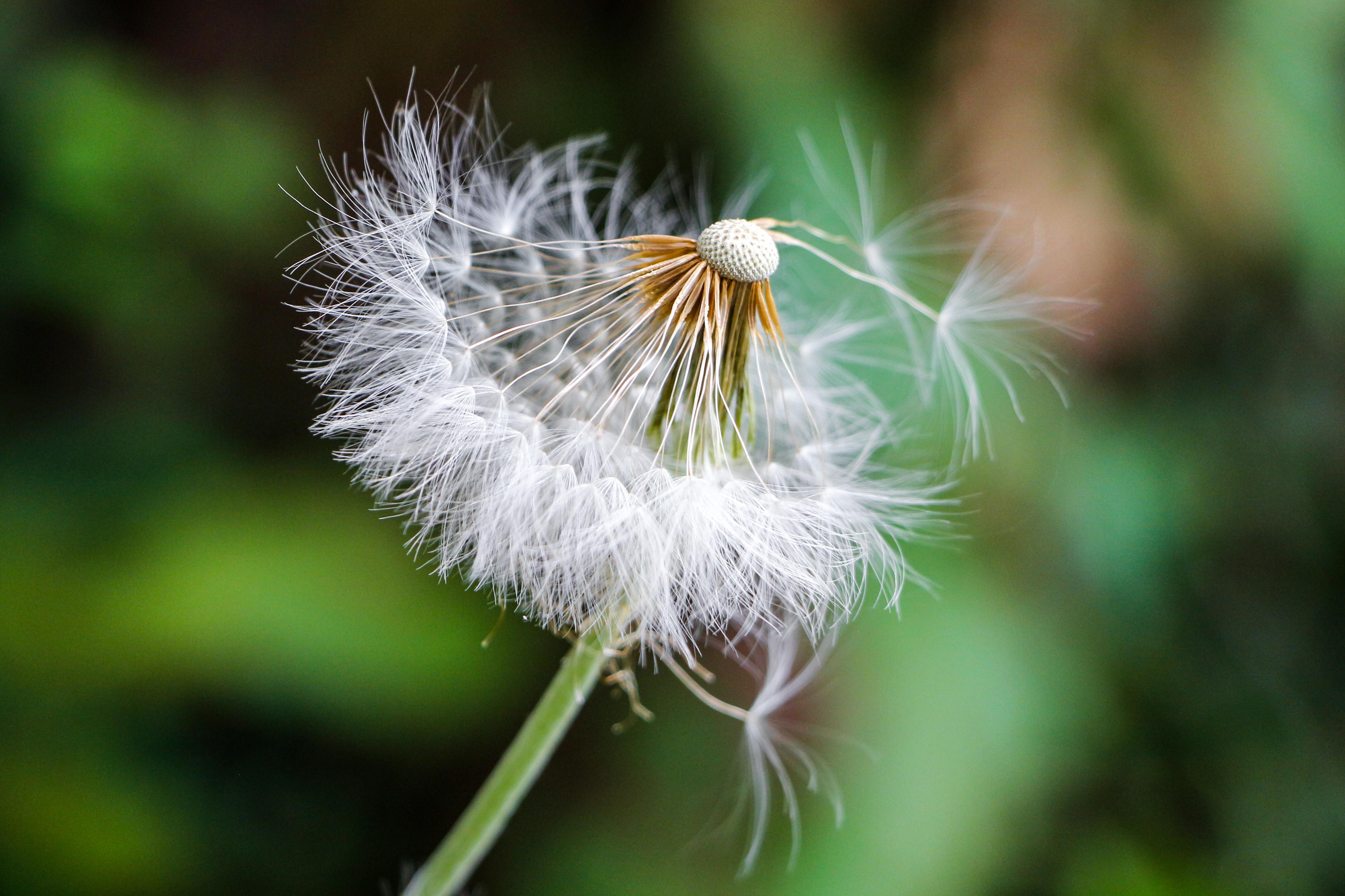 Flor dente de leao