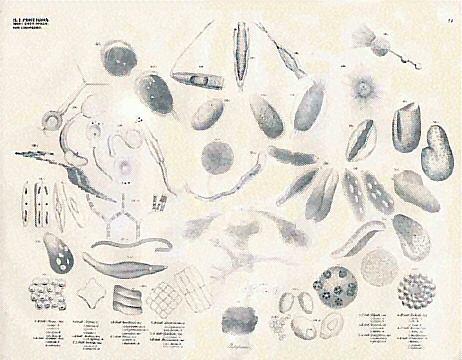 llustrationofclassrotozoa,ordernfusoria,familyonadesbyeorgugustoldfuss
