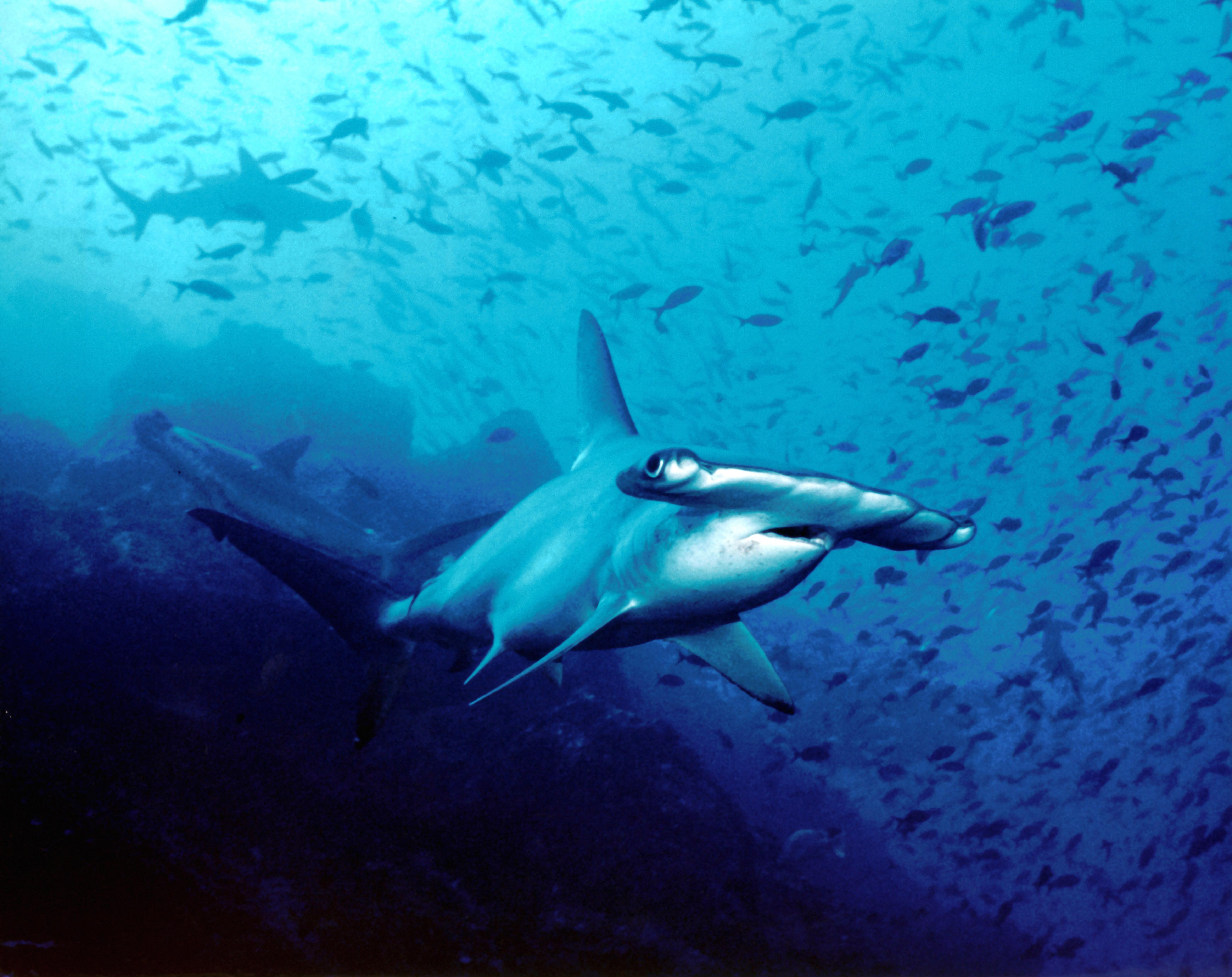 Great Hammerhead Shark Eating