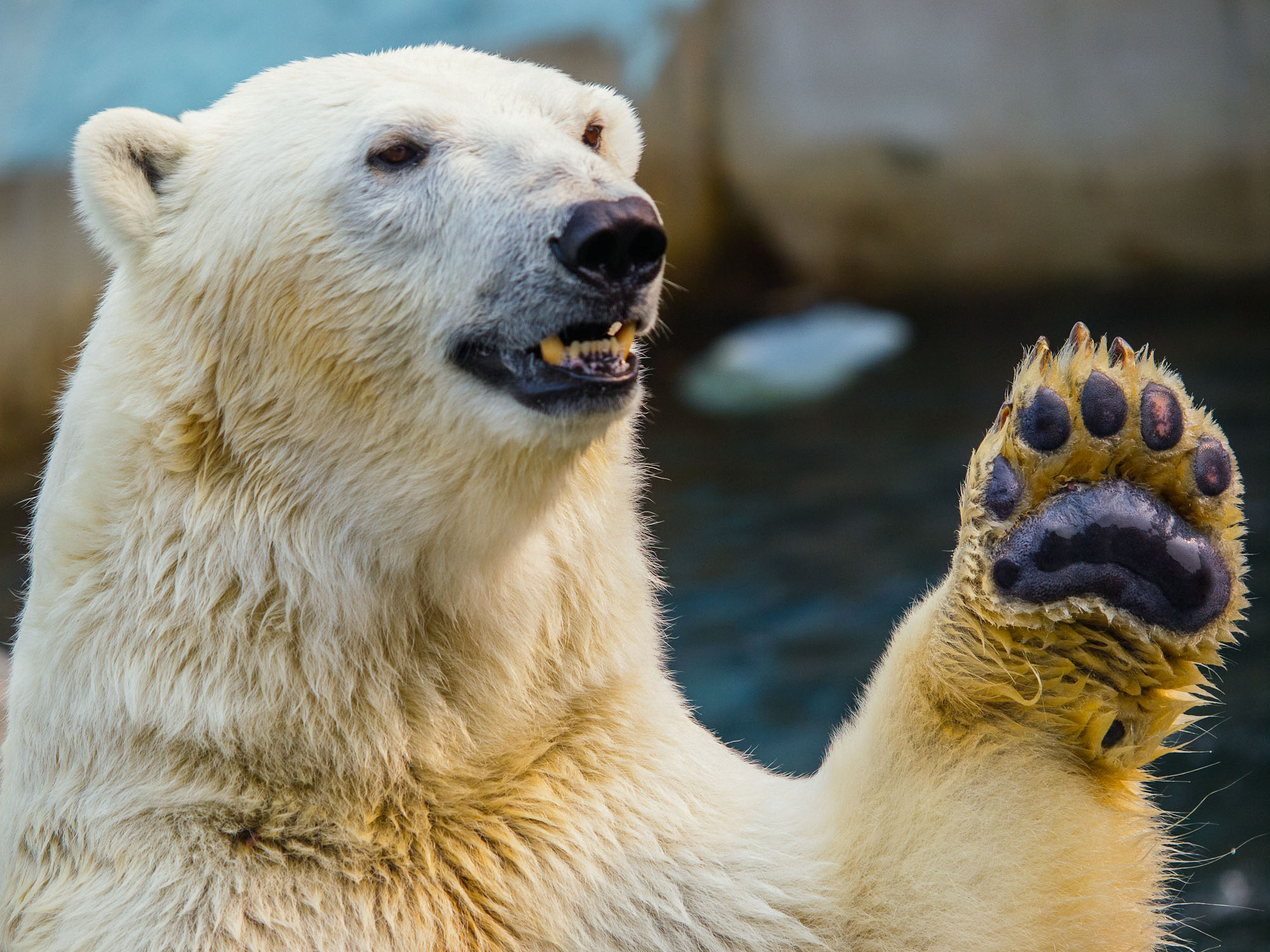 awesome bear high five