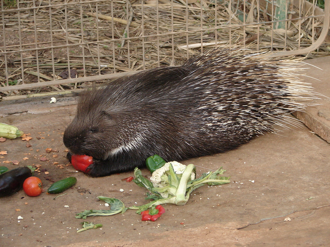 File Indian Crested Porcupine Jpg Wikimedia Commons