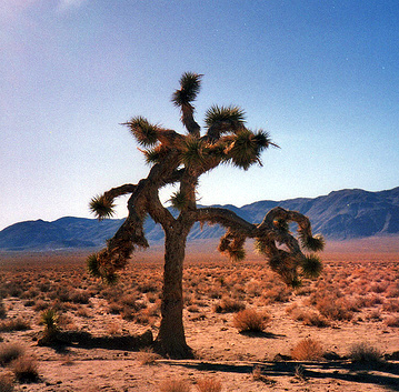A tree with spiked limbs sprawling in several directions stands in a desert. A mountain range stands in the background