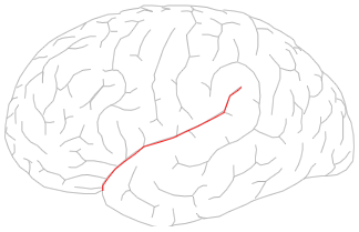 http://upload.wikimedia.org/wikipedia/commons/a/a3/Lateral_sulcus.png