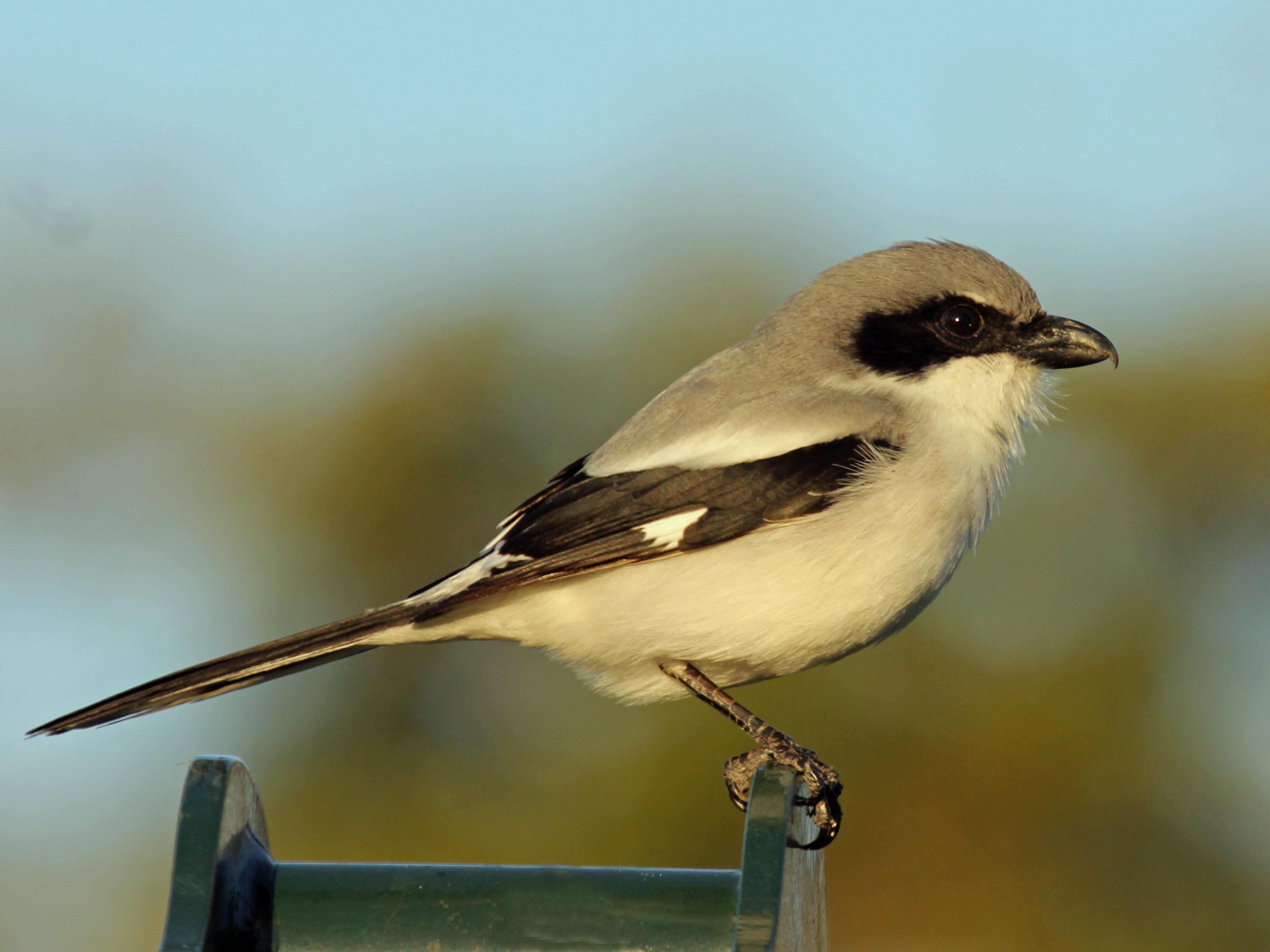 Loggerhead shrike bird