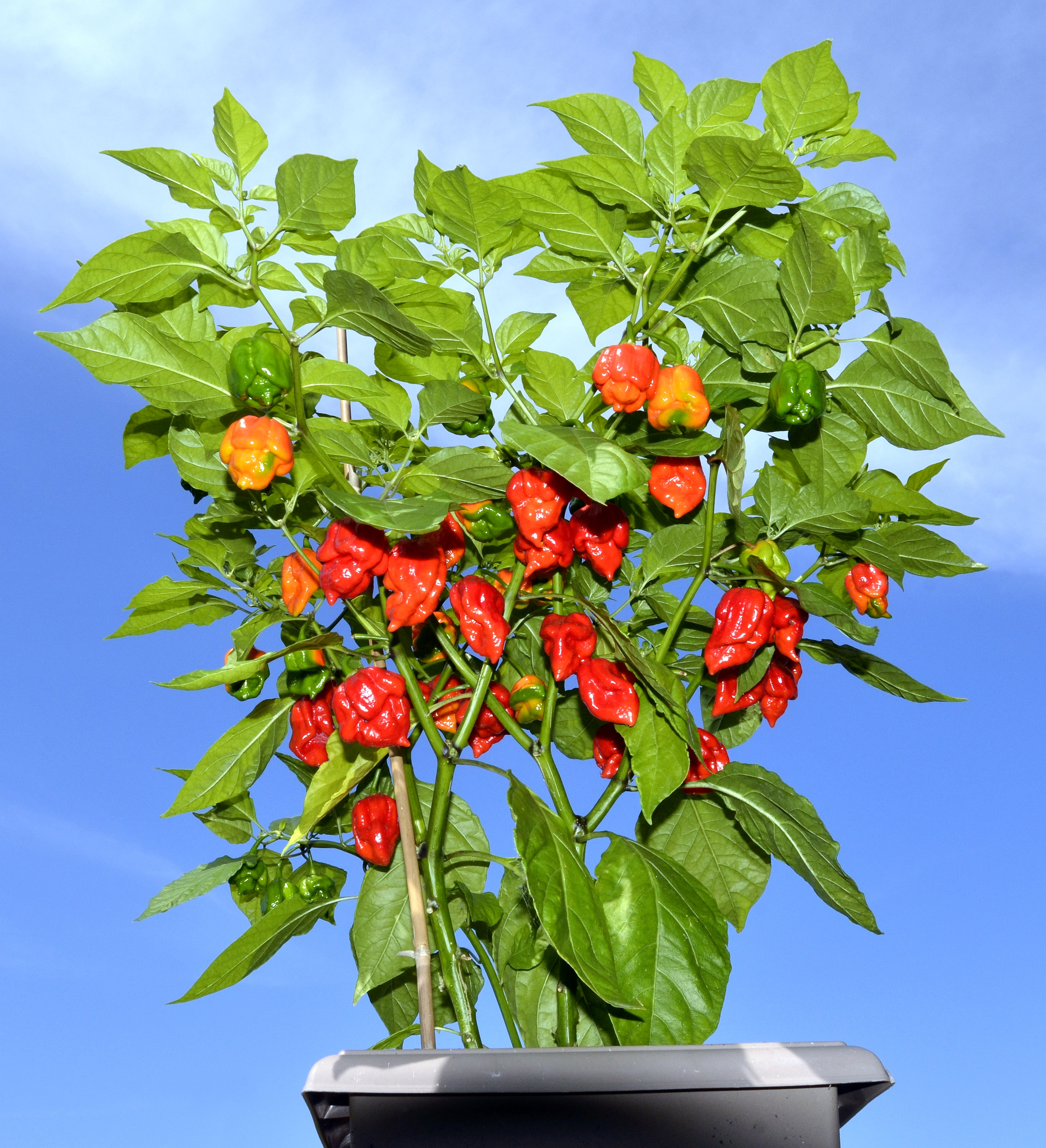 20 Seeds  Red Ghost Peppers Super Hot Bhut Jolokia Chili  Peppers  USA SELLER