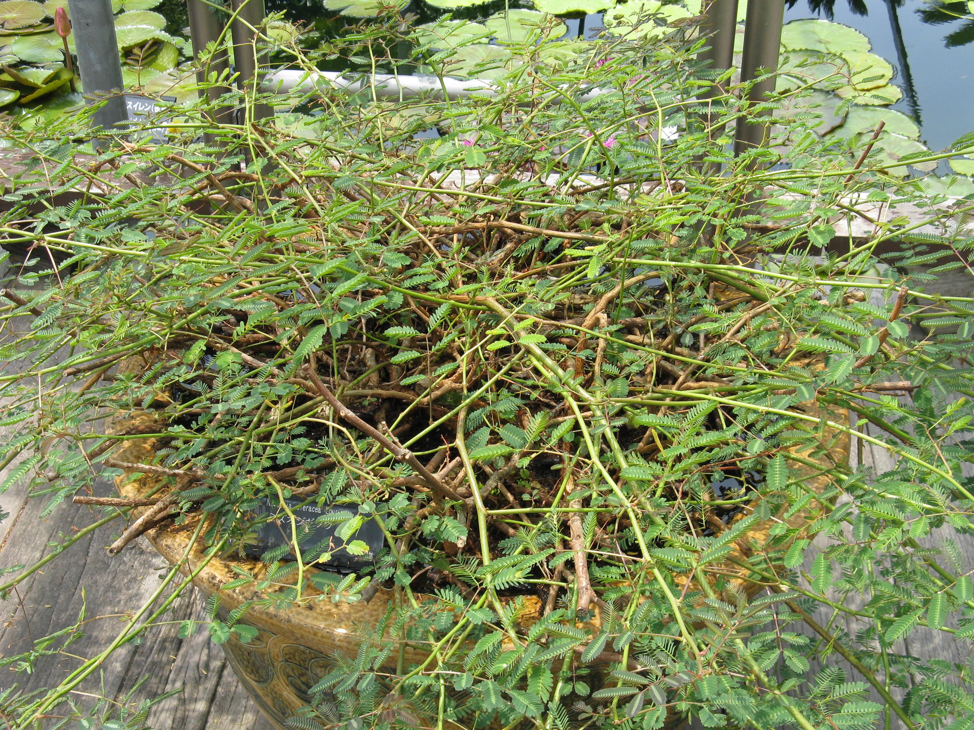 Мимоза стыдливая - Все о комнатных растениях на fo 84