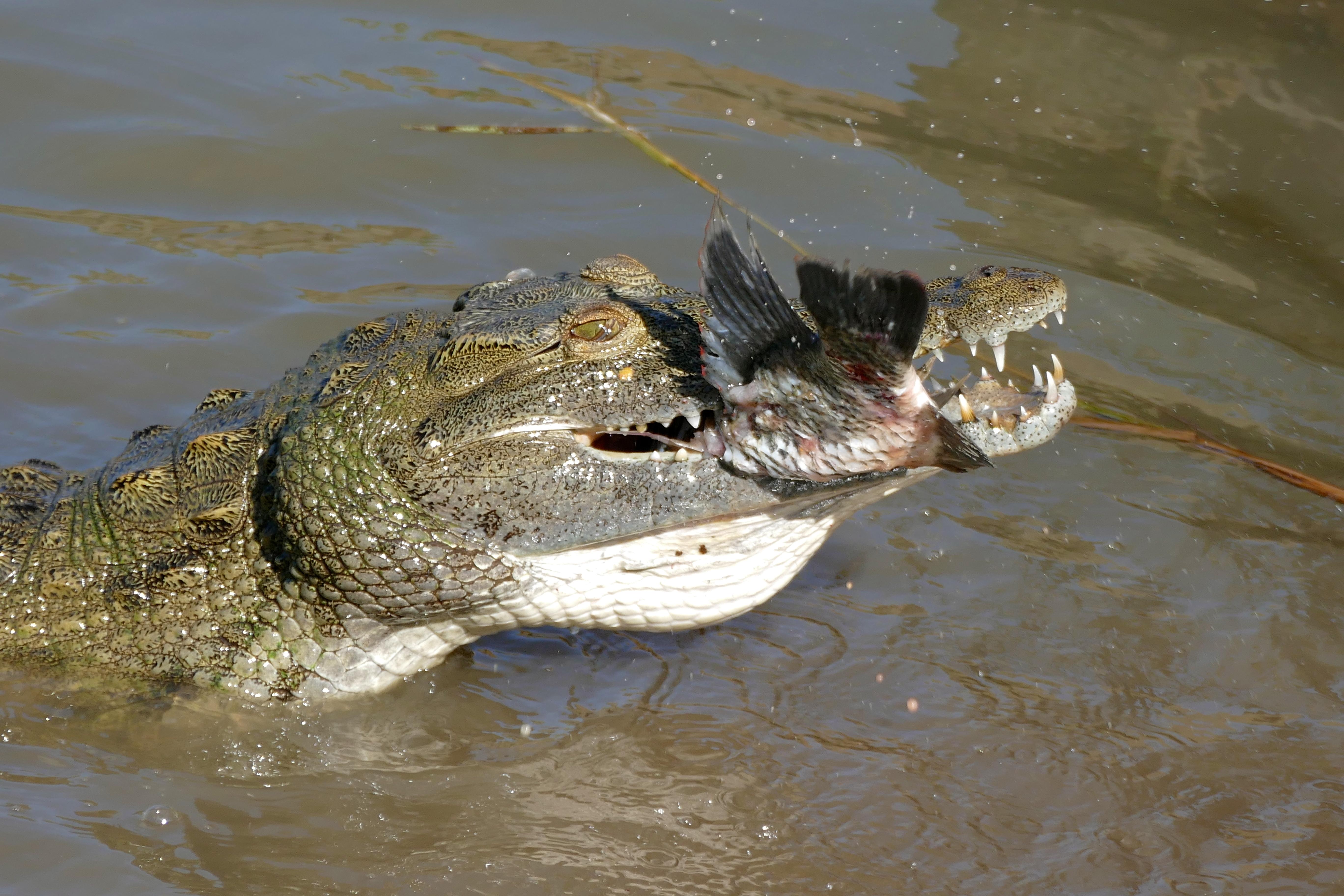 Крокодил на охоте картинки