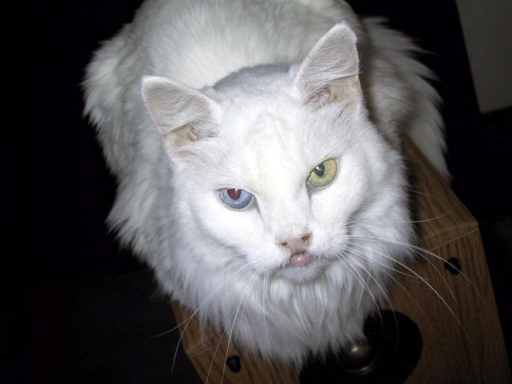 fileoddeyed cat 1jpg wikimedia commons