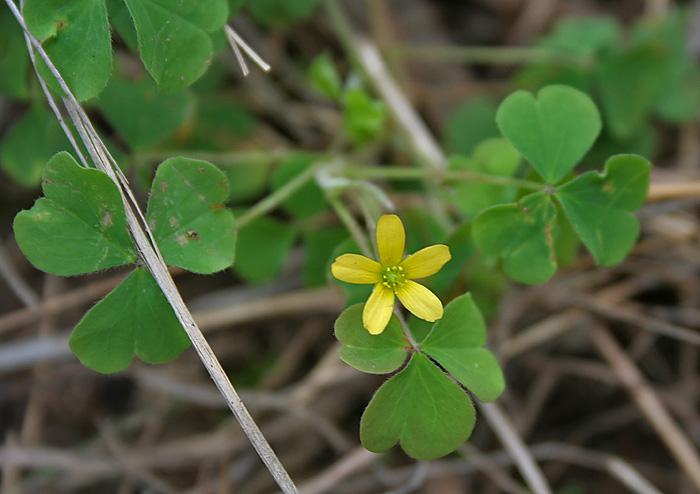 Oxalis corniculata in Talakona forest, AP W IMG 8538
