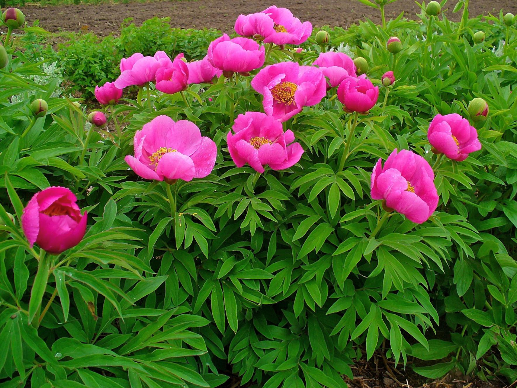 file paeonia officinalis 001 jpg wikimedia commons
