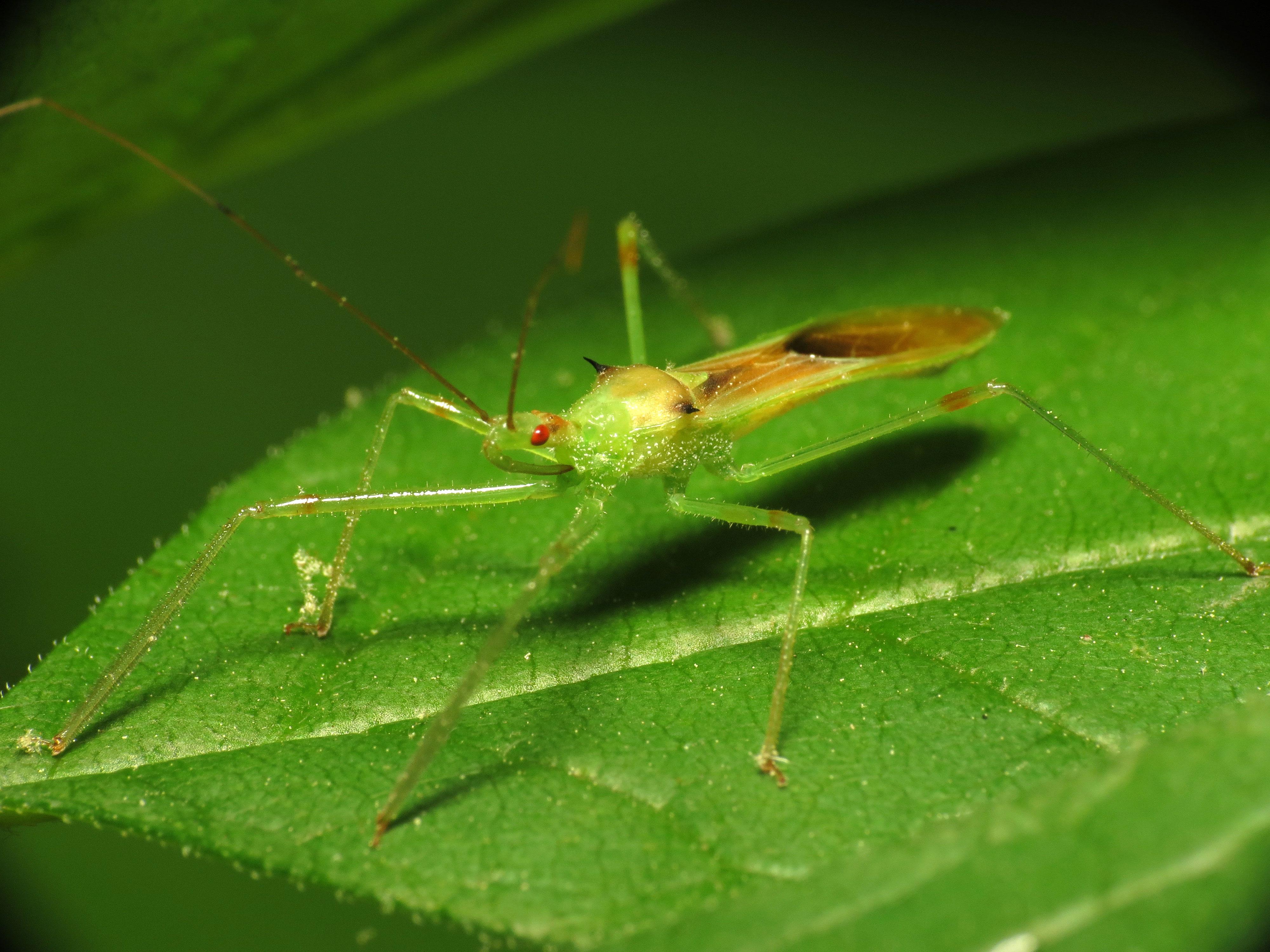 Zelus luridus - Wikipedia