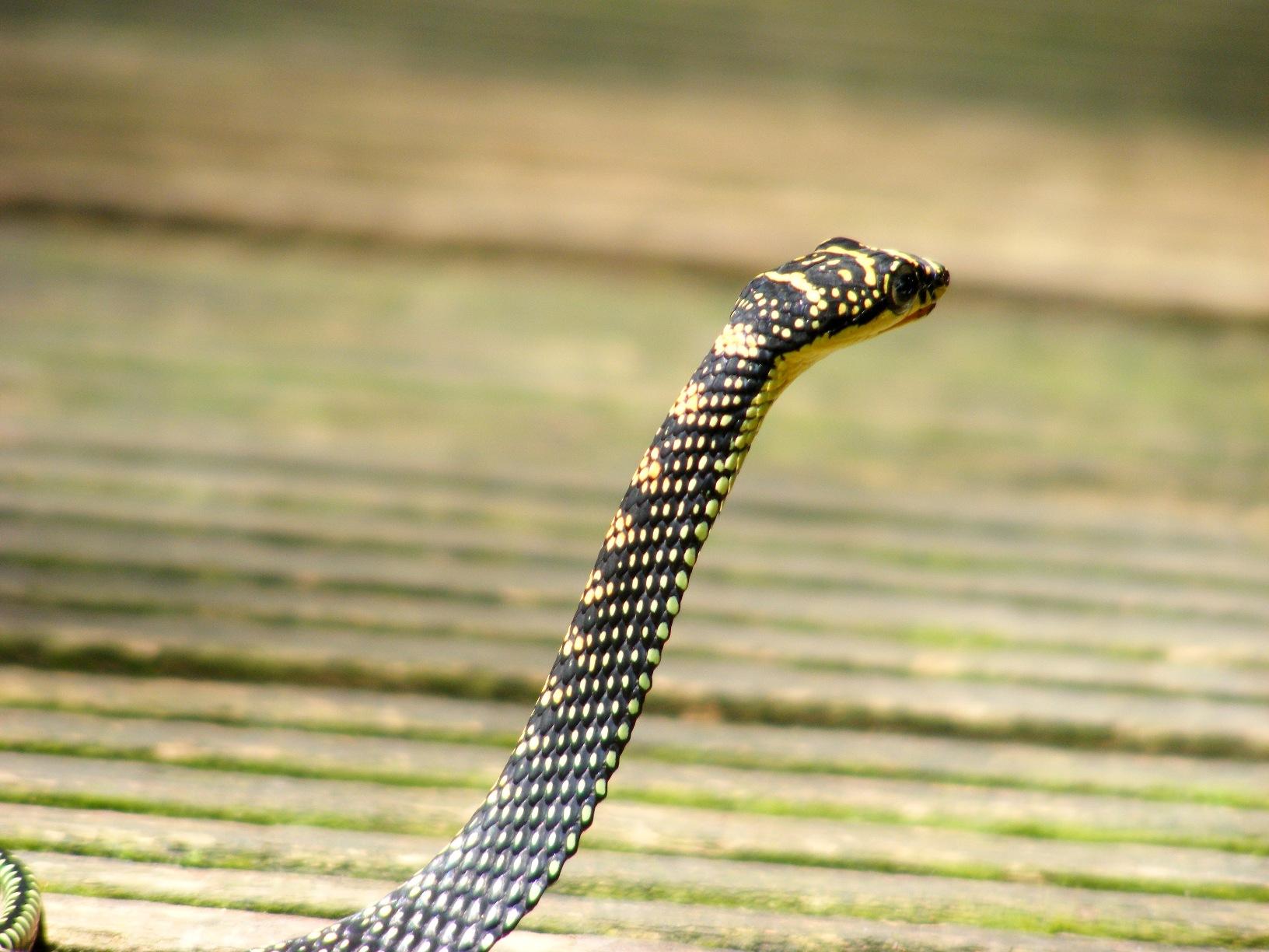 File Paradise Tree Snake Chrysopelea Paradisi At Singapore Dscf6917