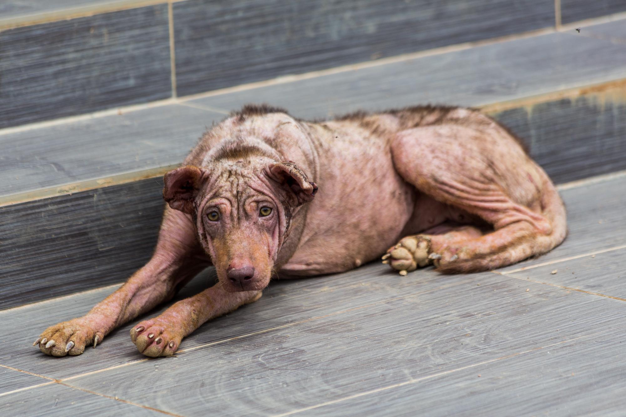 Sabah Dog For Sale Collier