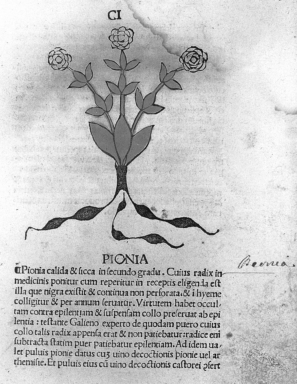File:Pionia, from Vicneza, Herbarius 1491 Wellcome L0012999.jpg
