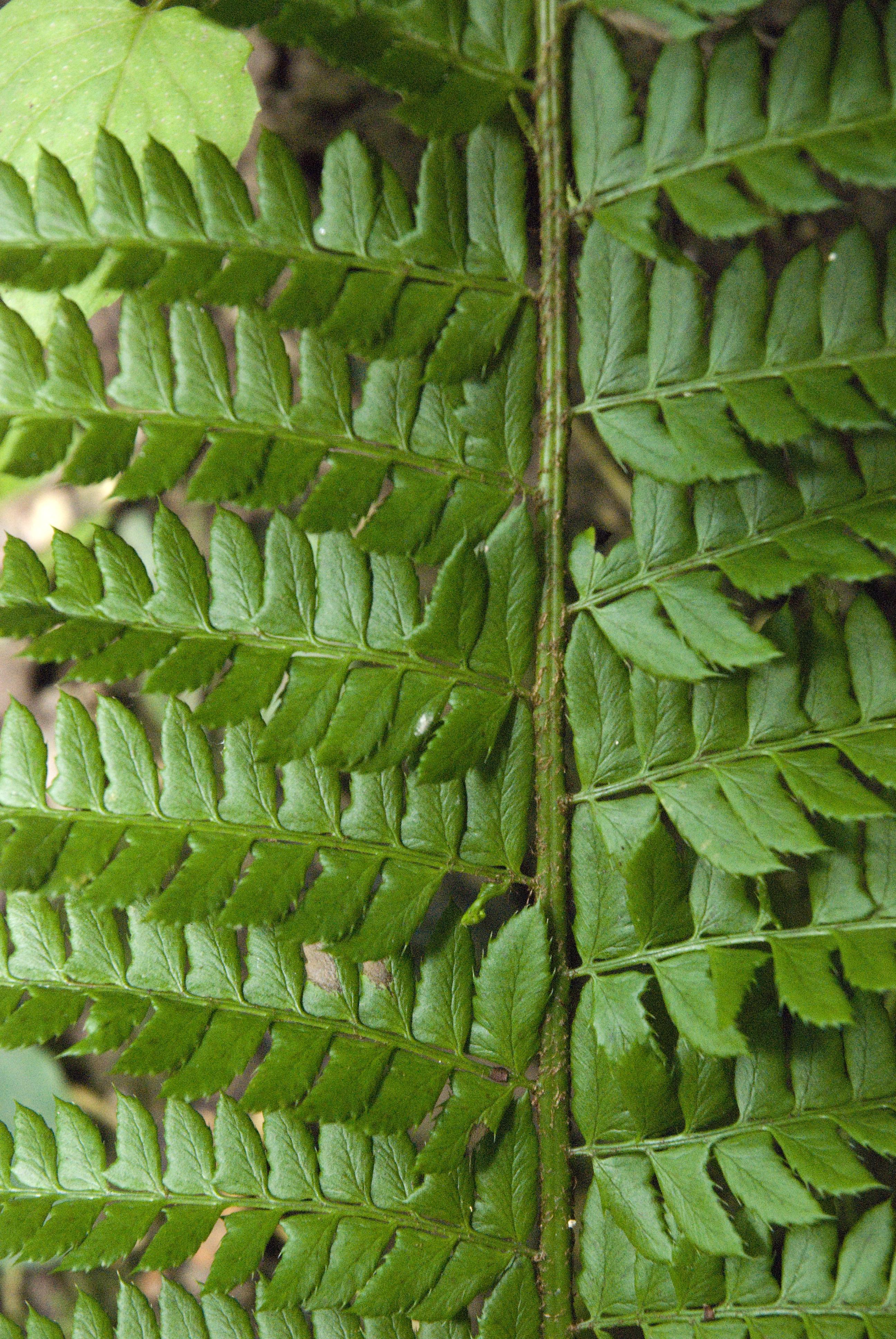 File Polystichum Aculeatum Vallon Ferme Le Colombier