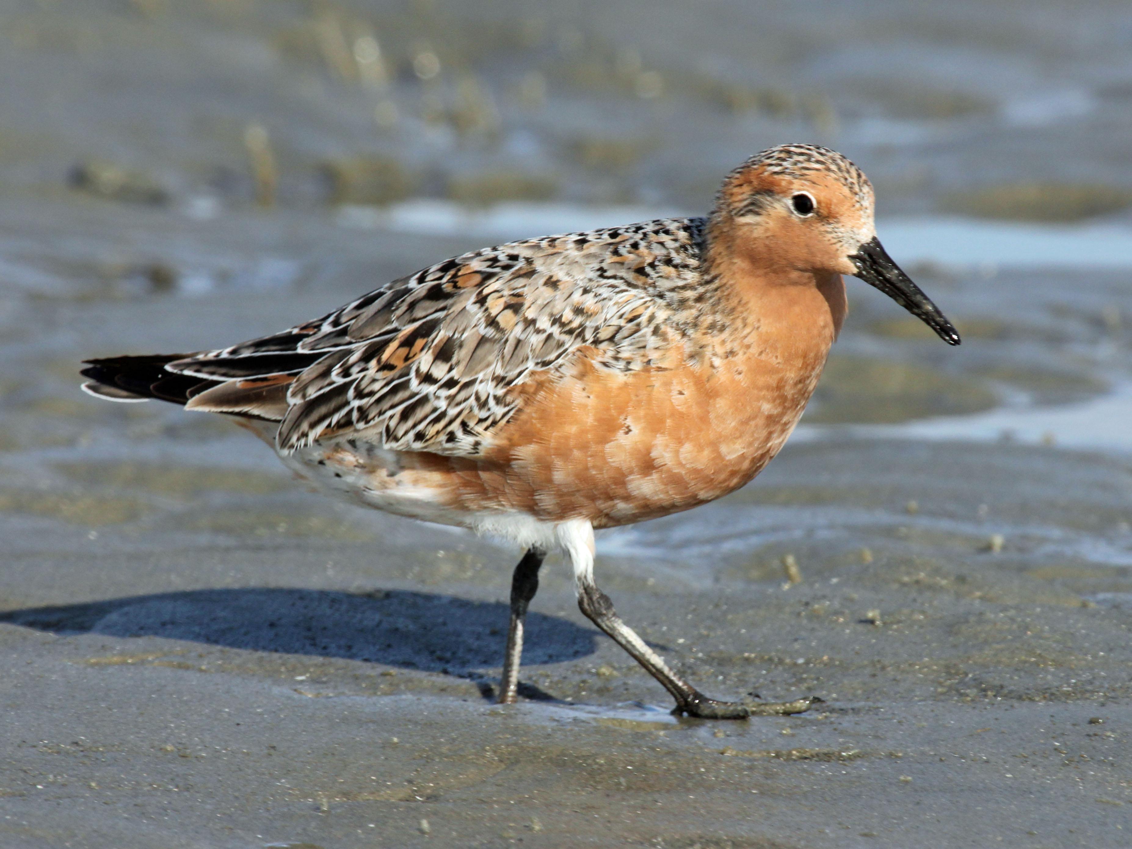 Imperiled Red Knot Proposed for Listing as Threatened by Wildlife Agency
