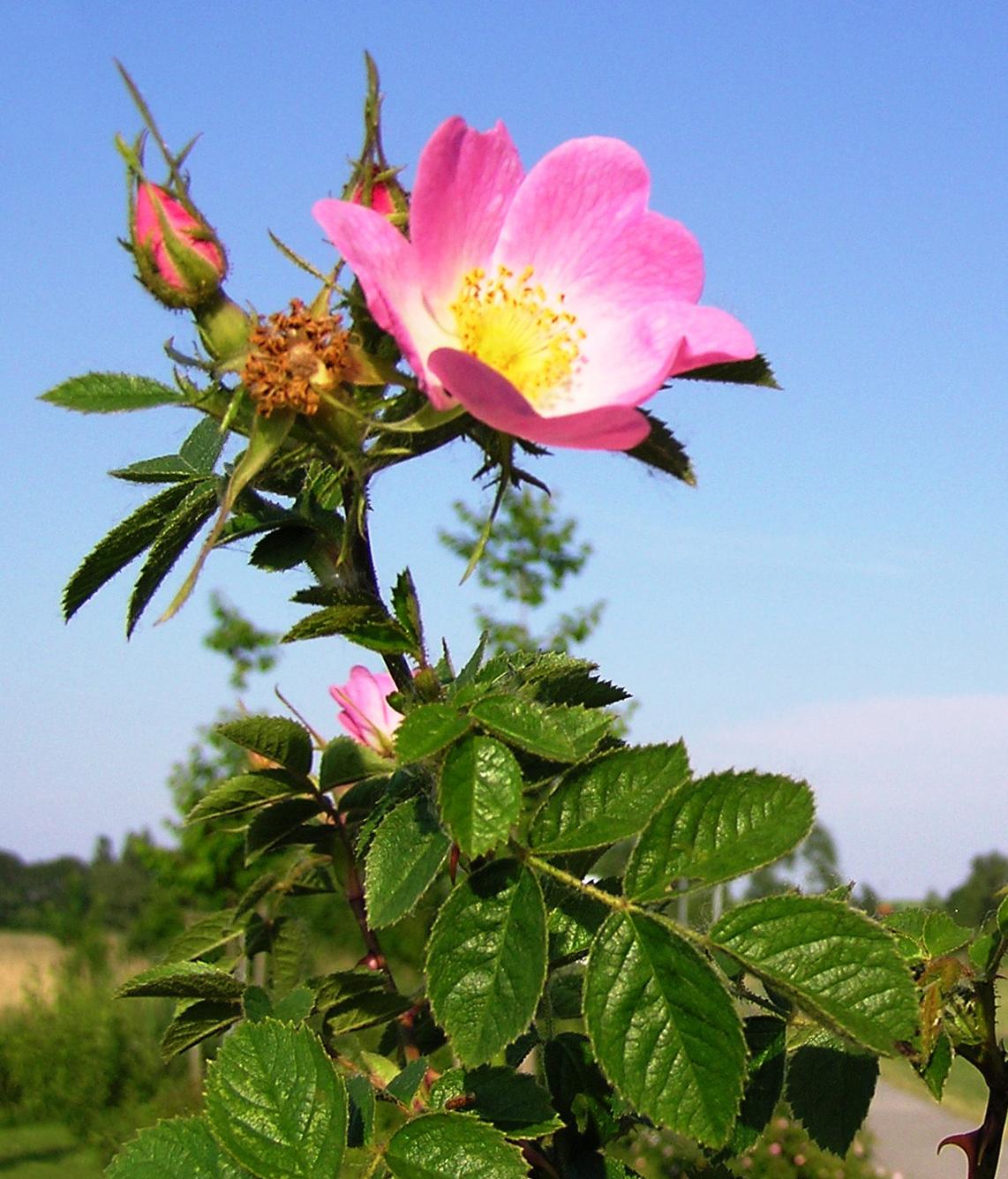 Rosa rubiginosa wikipedia for Rosa pianta