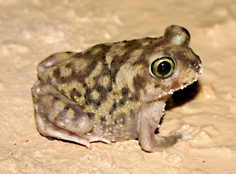 Q Significa Toad Couch's spadefoot toad...