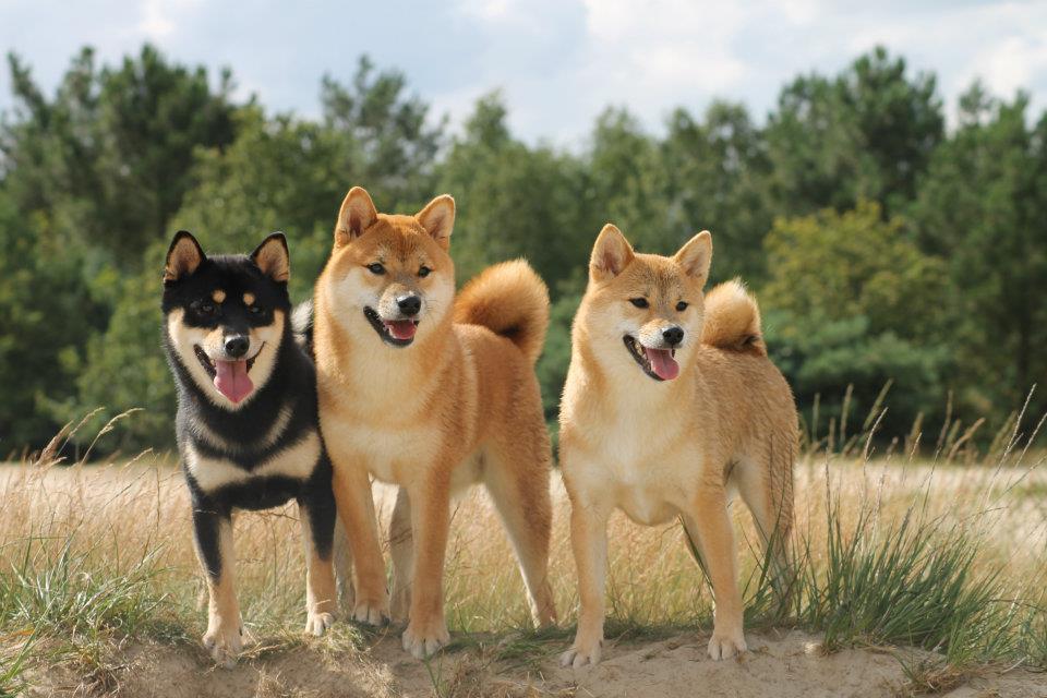 Taro (black and tan, reu) - Chiko (rood, reu) - Ichigo (rood, teef).jpg