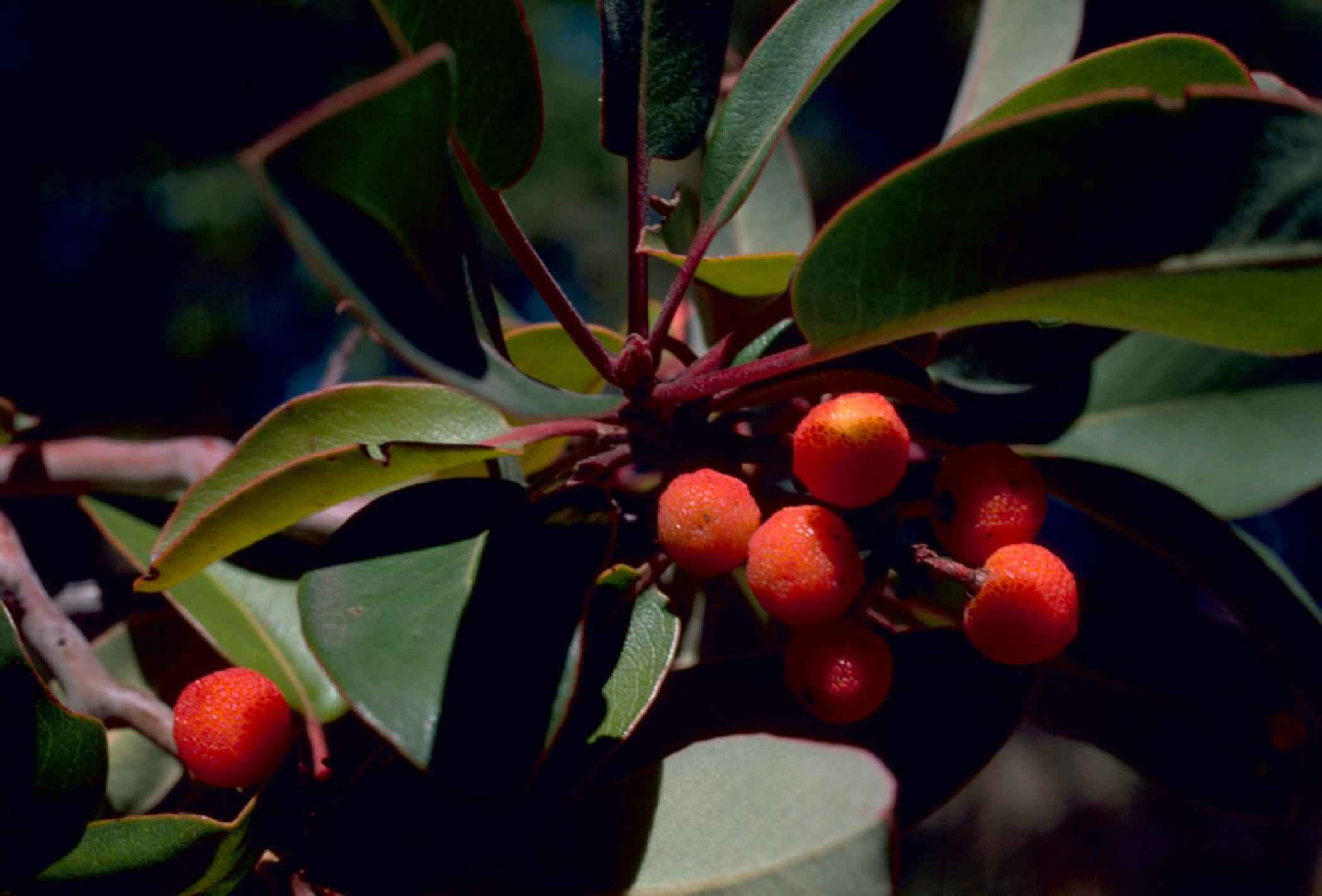 drone usage with File Texas Madrone Or Marina Strawberry Tree Plant Fruits Arbutus Xalapensis on File f 106a 49th fis wright Patterson afb 1986 furthermore File TT Copter OctoCOpter high lifting likewise Artificial Intelligence Top Startups also French Startup Launches Hydrogen Powered Bicyles further Quadcopter Drone.