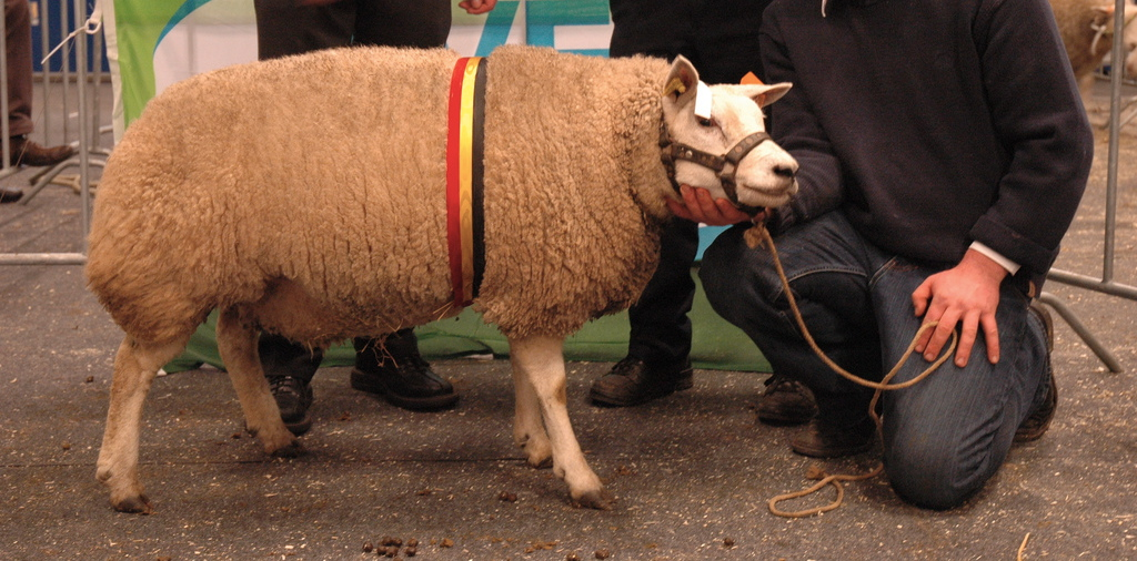 https://upload.wikimedia.org/wikipedia/commons/a/a3/Texel_sheep.jpg