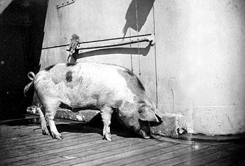 Tirpitz Pig