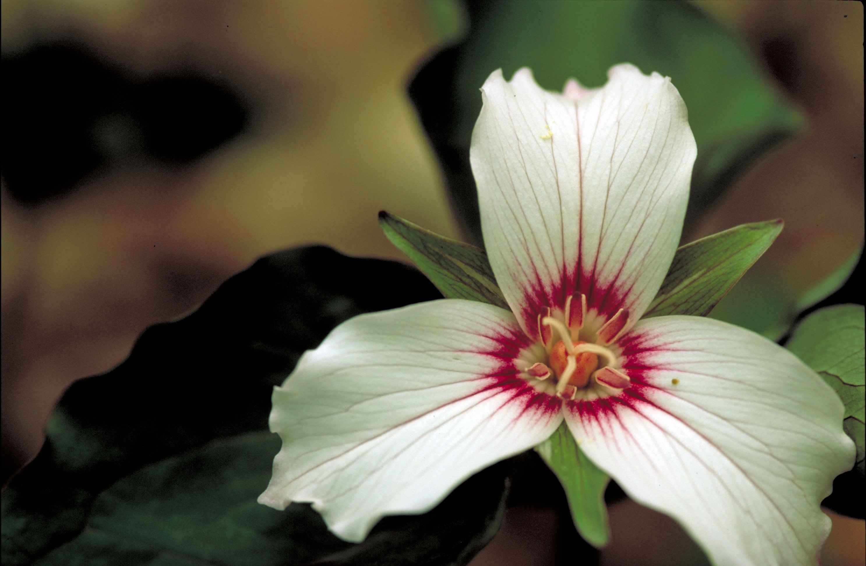 Description Trillium undulatum (painted trillium) FWS-1.jpg: commons.wikimedia.org/wiki/File:Trillium_undulatum_(painted...