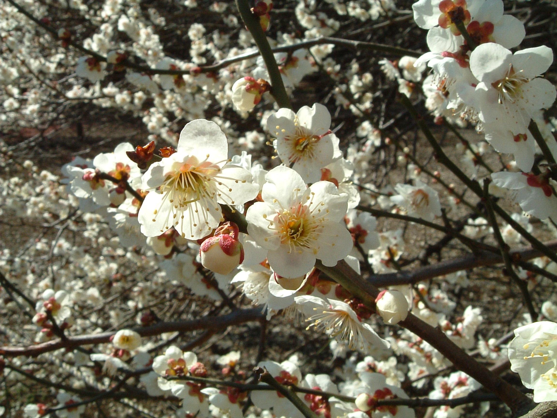 [Hình: Ume_blossom_2005.03.14.jpg]