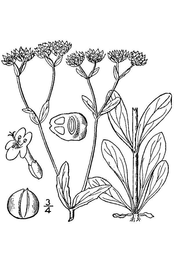 File:Valerianella locusta drawing.jpg - Wikimedia Commons