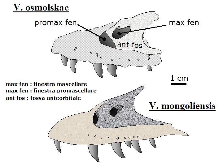Filevelociraptor Osmolenskkae Mongoliensis Skullg Wikimedia