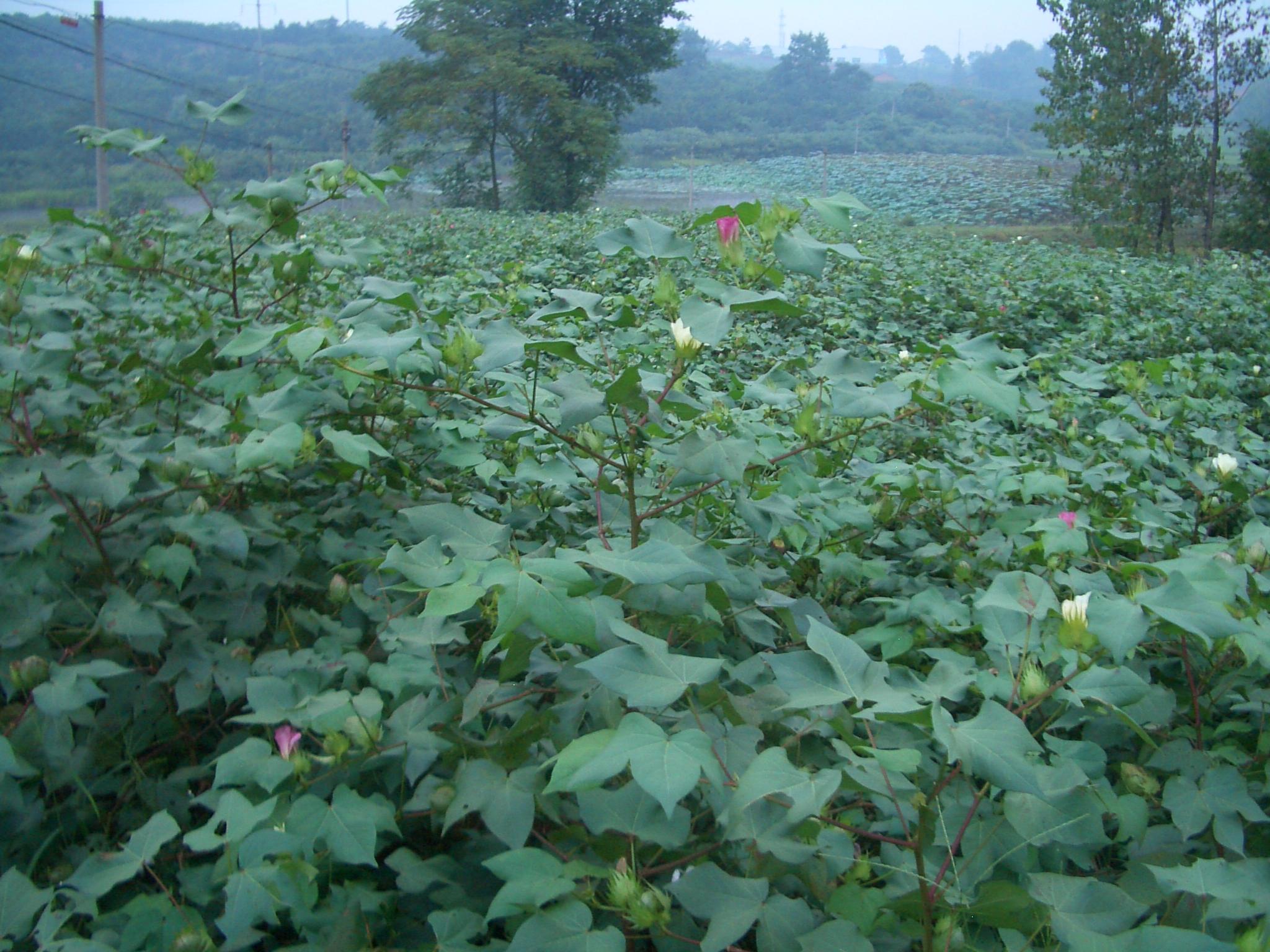 Yangxin-County-cotton-field-0050
