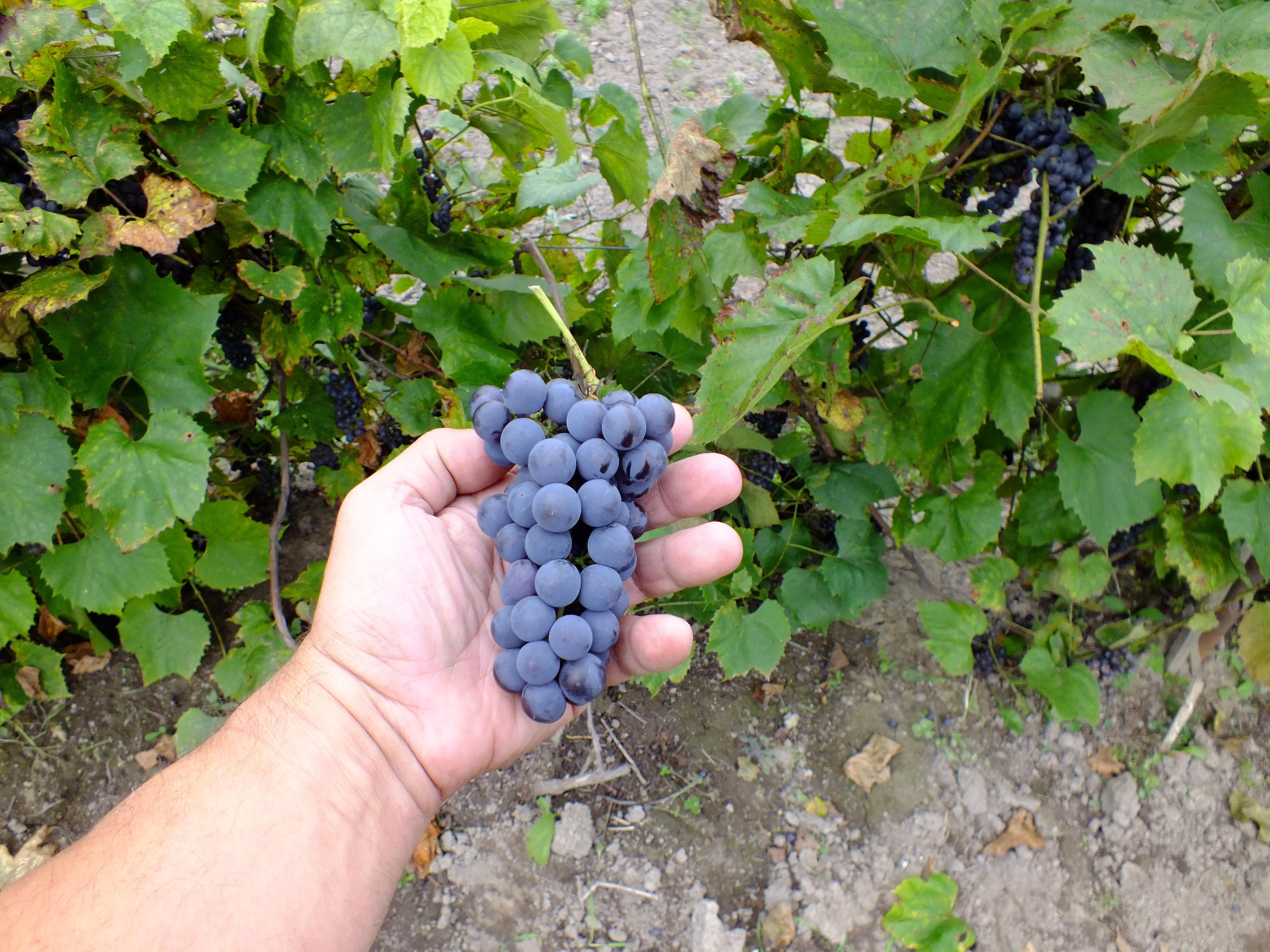 желе из дальневосточного винограда