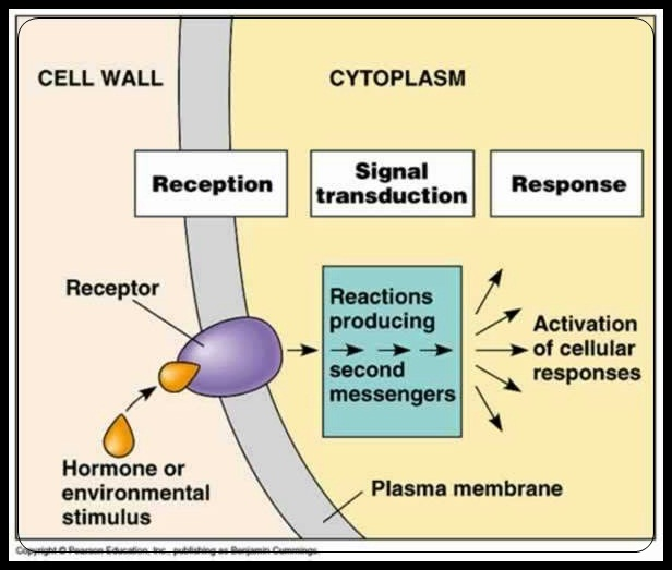 Image result for signal transduction pathway