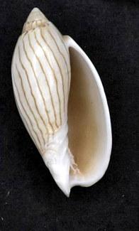 File:Amoria jamrachii 001.jpg