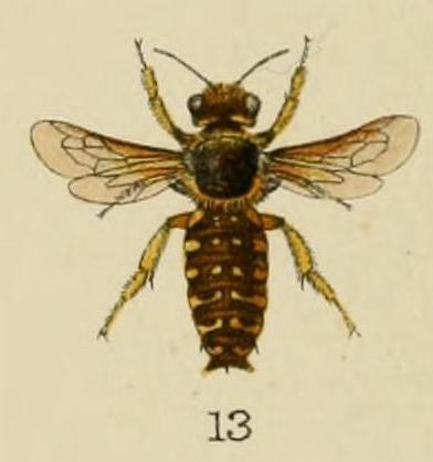 Anthidium ordinatum Bingham 1897
