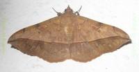 <i>Anticarsia irrorata</i> species of insect