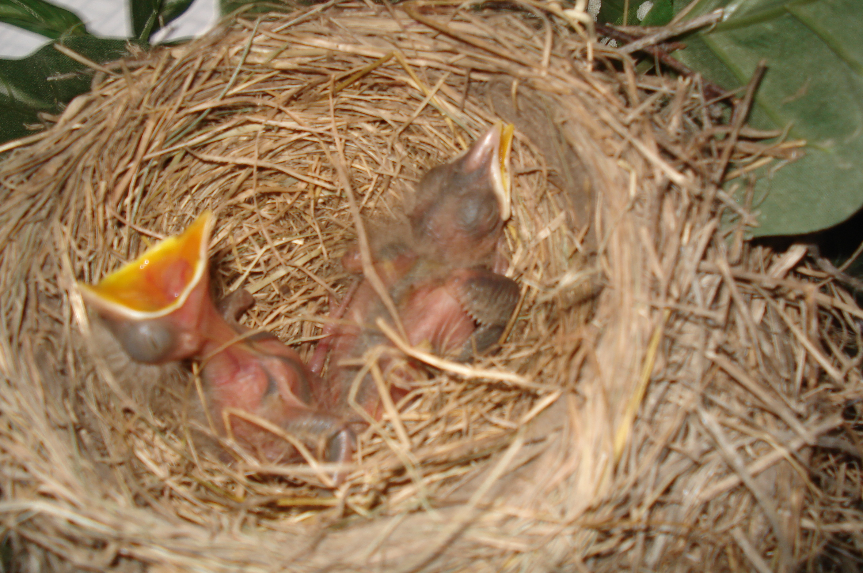 Description Baby Robins.JPG