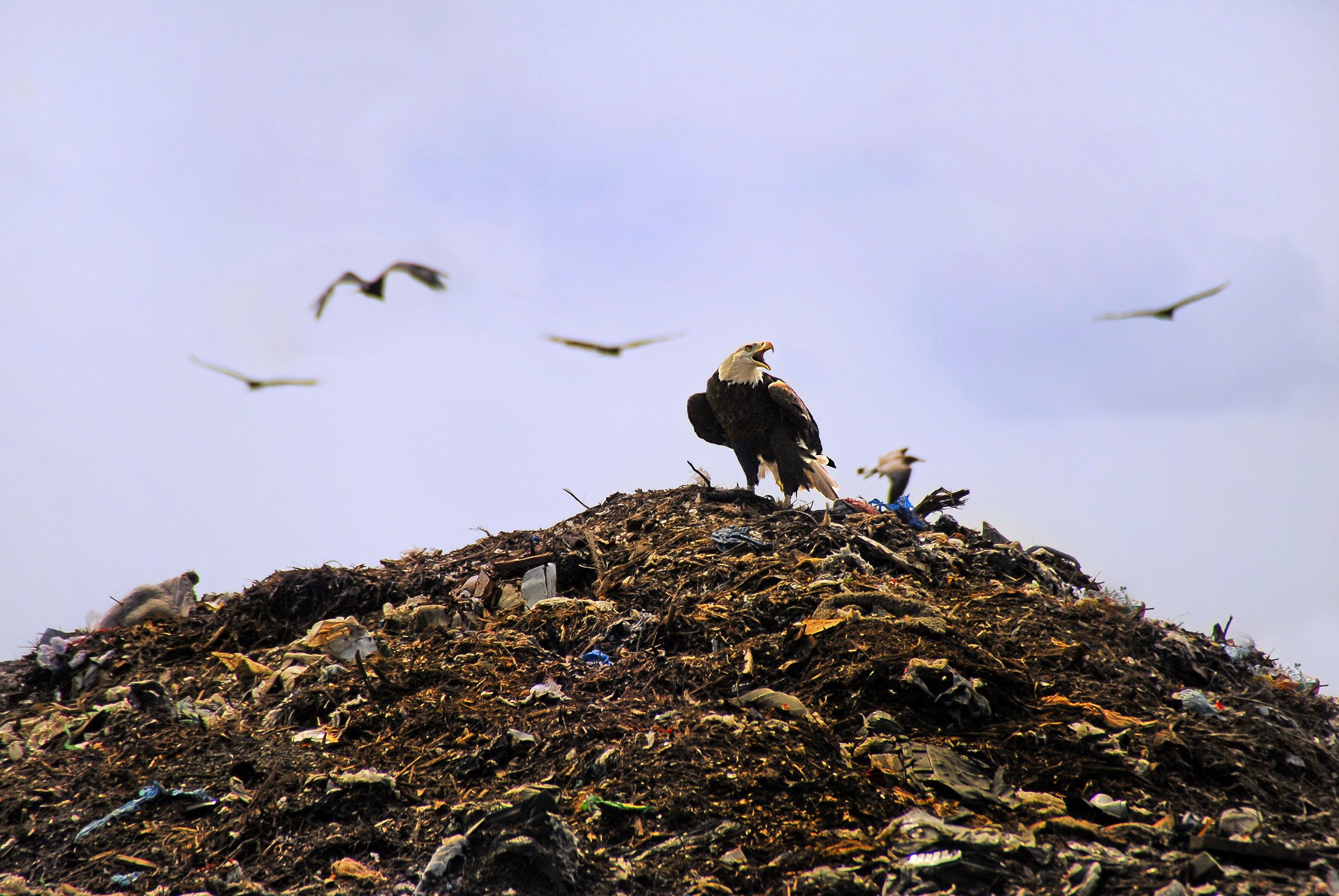 File bald eagle at tomoka landfill flickr andrea westmoreland jpg