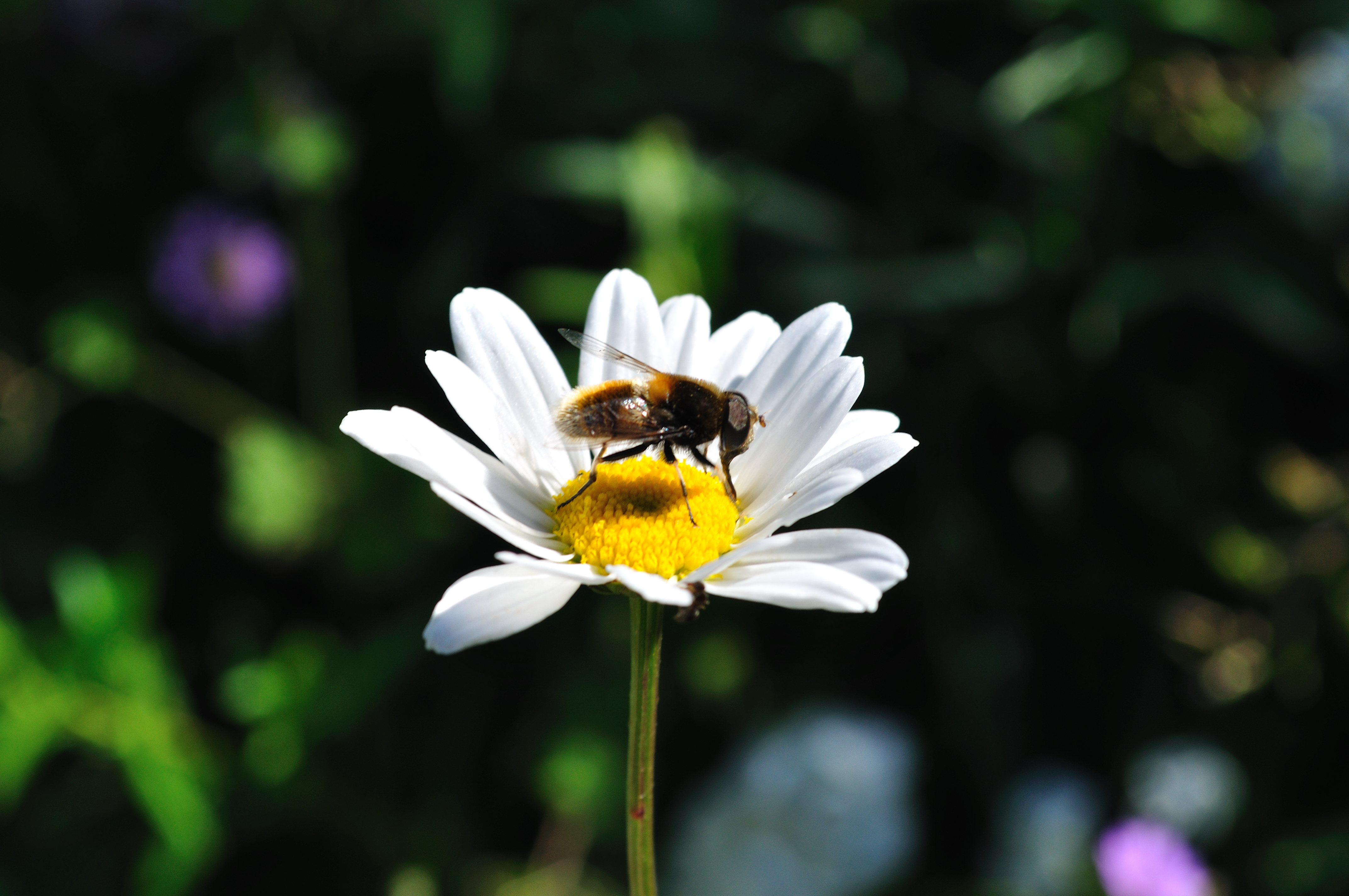 File Bee pollinating on a flower