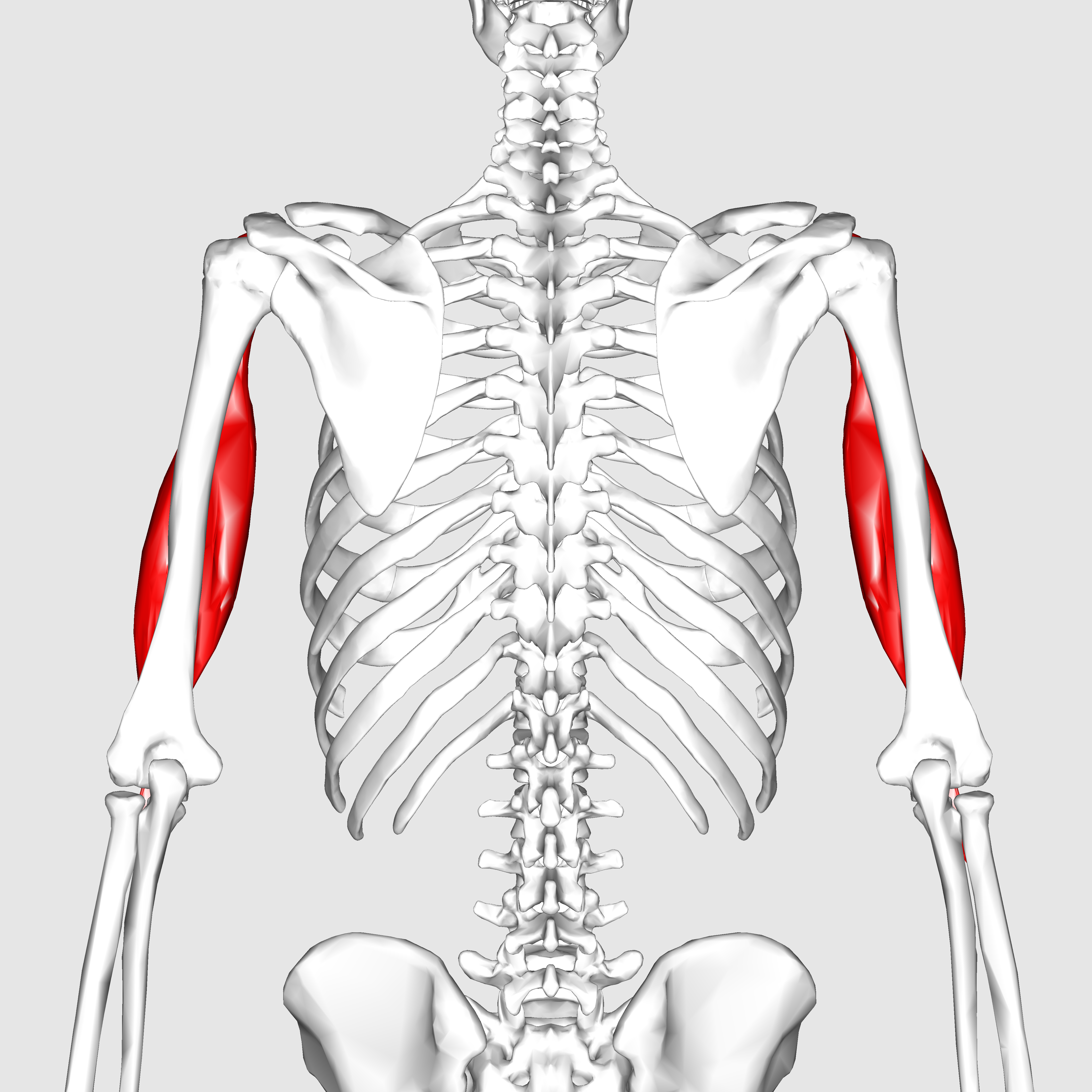 File:Biceps brachii muscle05.png - Wikimedia Commons