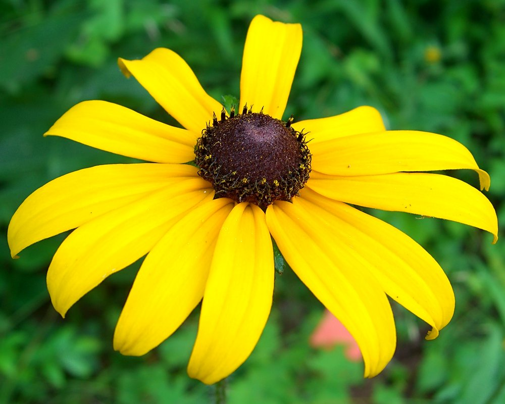 File black eyed susan 1046464129 jpg wikimedia commons Black eyed susans
