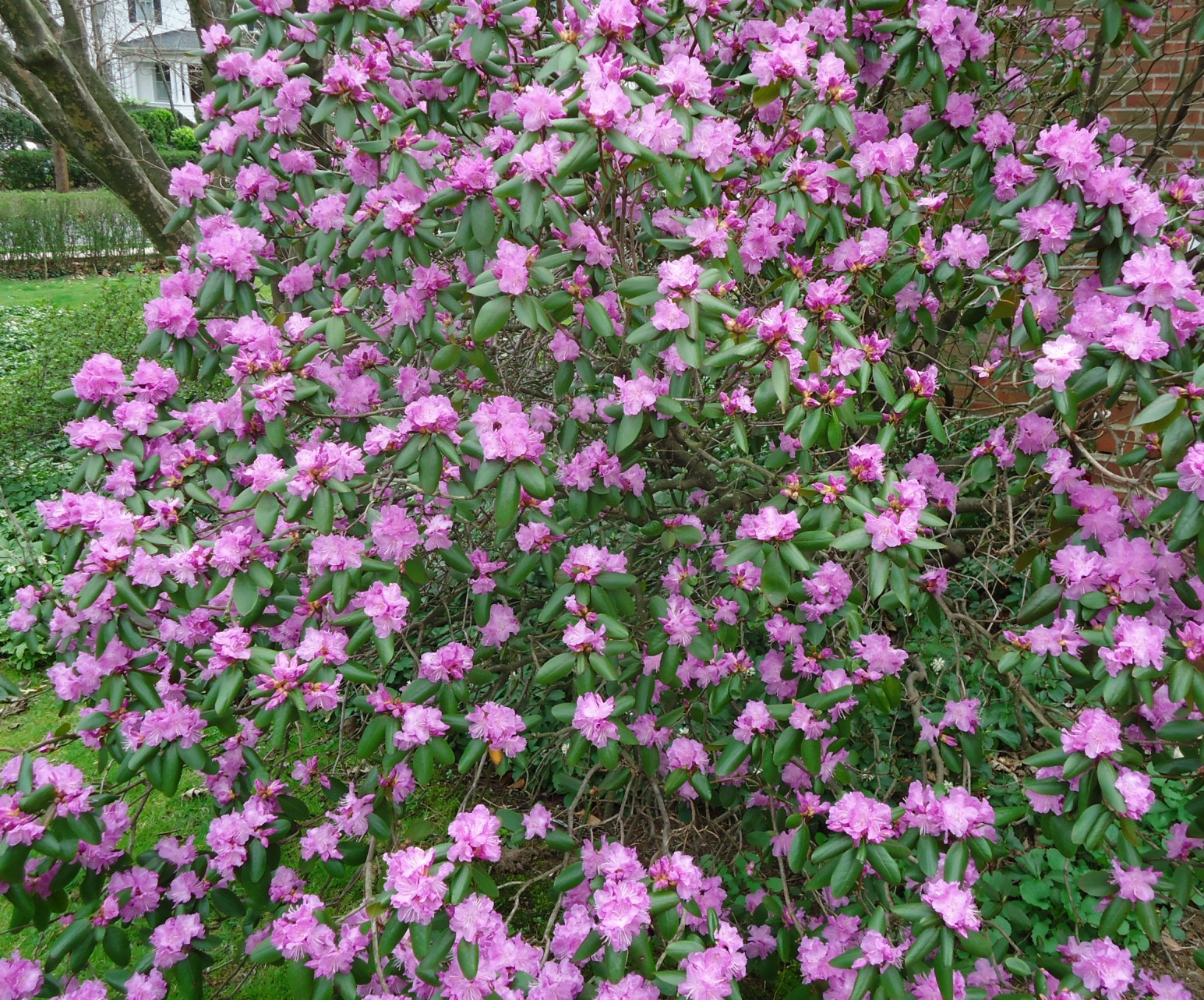 File Bush with purple flowers Summit NJ Wikimedia mons