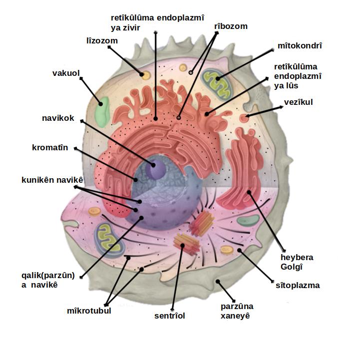 Filecell organelles labeled kug wikimedia commons filecell organelles labeled kug ccuart Choice Image