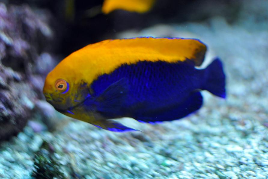 Flameback Angelfish Flameback angelfish